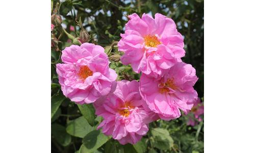 Růže Damašská v Jojobě
