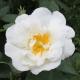 Růže Bílá v Jojobě