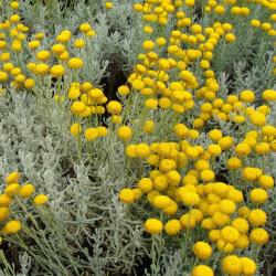 Aqua floral Santolina