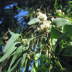 Eukalyptus Citrónovonný