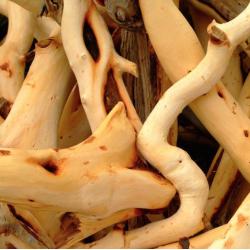 Santalové dřevo v Jojobě