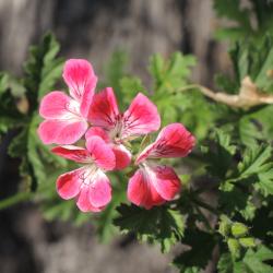 Geranium (Pelargonie)