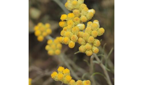 Hydrolát Smil - věčný květ