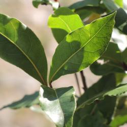 Aqua floral Vavřín - Bobkový list