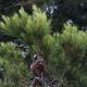 Hydrolát Borovice lesní