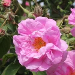 Aqua floral Růže Damašská