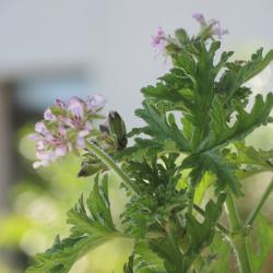 Aqua floral Geranium