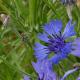 Aqua floral Chrpa
