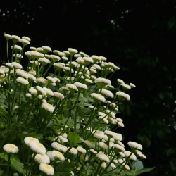 Aqua floral Kopretina Řimbaba