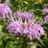 Aqua floral Monarda