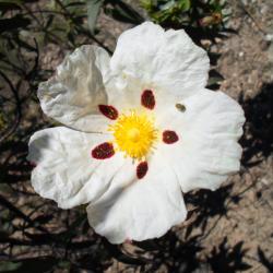 Cistus - Skalní růže