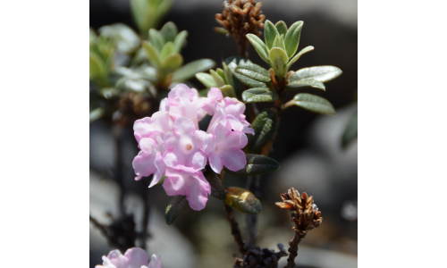 Rododendron Adamsii