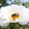 Aqua floral Růže Bílá