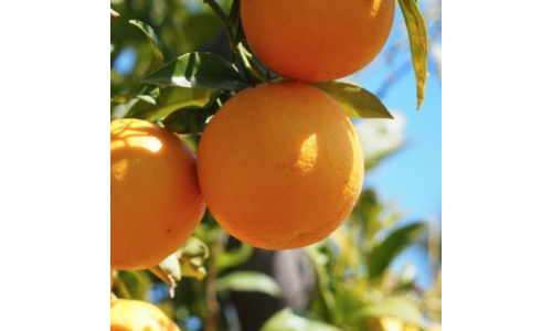 Pomeranč sladký