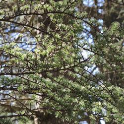 Cedrové větve