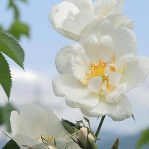 Rosa Alba - čerstvá růžová voda